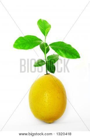 Impossible Lemon Tree