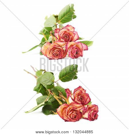 Three dried pink roses over the white isolated background