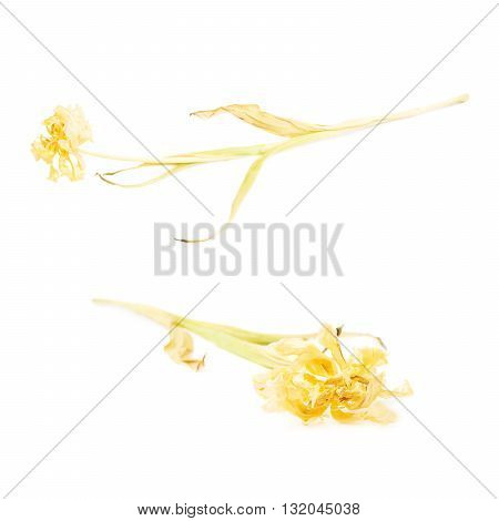 Dried yellow tulip flower over isolated white background