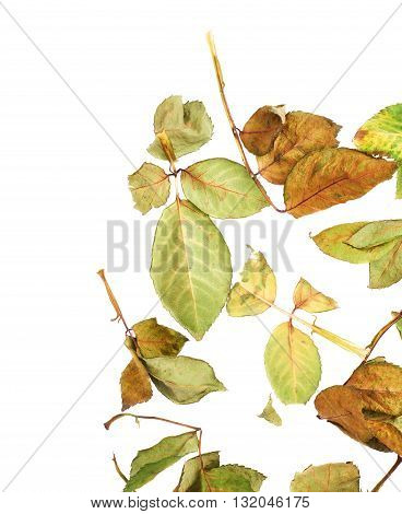 White surface covered with old dried rose leaves as an abstract composition, top view