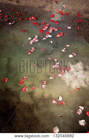 The ashes of a loved one float on a lake at the edge of a shore. The ashes are mixed with scattered rose petals.
