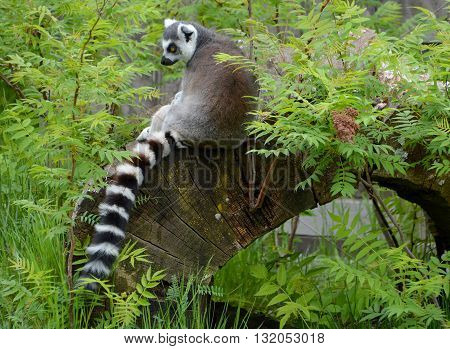 The ring-tailed lemur (Lemur catta) is a large strepsirrhine primate and the most recognized lemur due to its long, black and white ringed tail.