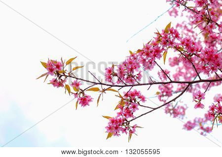 "Queen tiger was popularly called ""Sakura Thailand."""