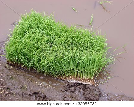 A stack of rice ready for agriculture