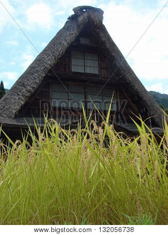 Green rice straw infront of Gassho-zukuri Houses made of dried rice straw, in Goukayama village, Japan
