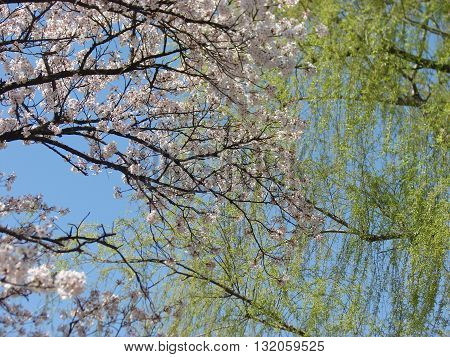 Pink Cherry bloosoms and green leaves in a bluish background
