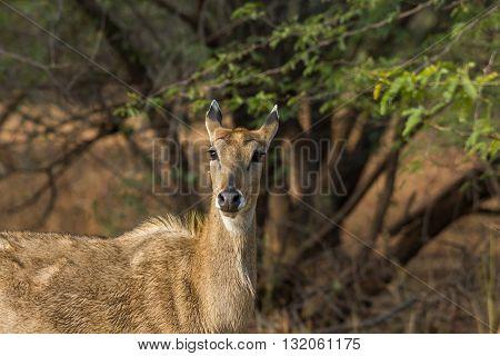 deer staring at velavadar national park near ahmedabad
