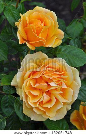 Two beautiful orange roses in full bloom