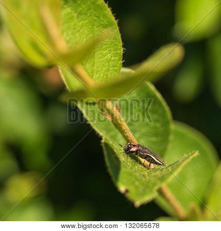 Macro of Hawthorn Root Borer sitting on a leaf.