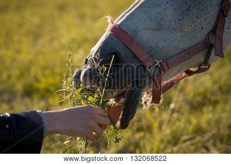 girl feeding couple of white horses graze in a paddock. Closeup.