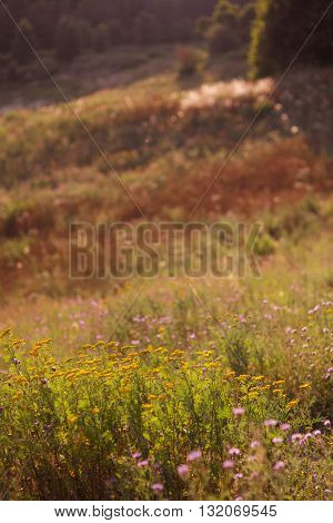 summer colorful herbaceous meadow with flowers. Summer scene.