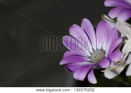 a purple colored african daisy against a dark background