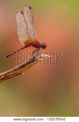 Pretty Dragonfly insect perched on a branch