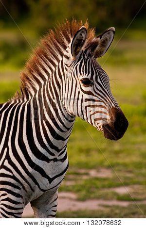 Close up of an African Zebra in the wild