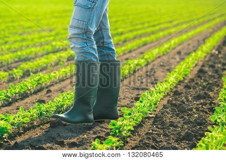 Farmer standing in soybean plants rows in cultivated field agricultural soy field in sunset