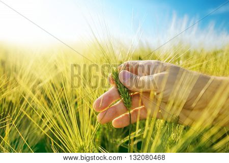 Farmer's hand in barley plantation field responsible farming and dedicated agricultural production crop protection and growth control selective focus.