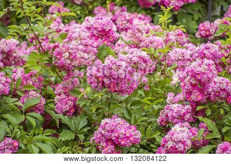 Bush Of Roses