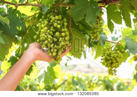 green grapes fruit is in hand grapes on the branch green grapes on vine.
