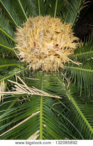 Detail of Cycas revoluta king cycad Japanese sago palm species of gymnosperm in the family Cycadaceae native to southern Japan