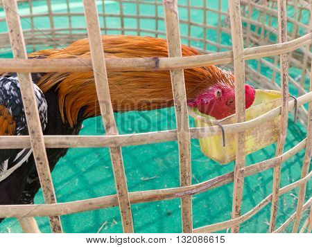 Chicken is eating in bamboo coop Thailand