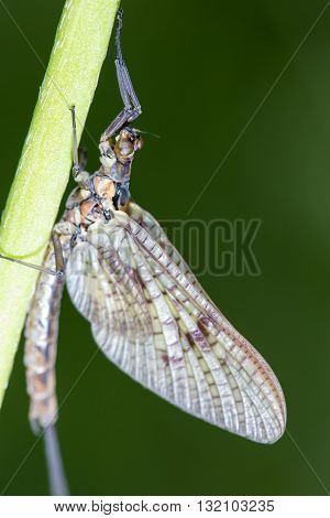 Macro of a Mayfly or Shadfly clinging to a stem on a sunny spring day