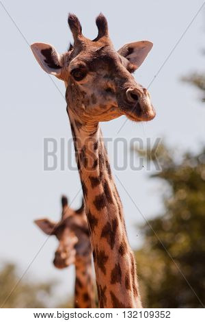 A close up of two wild African giraffe