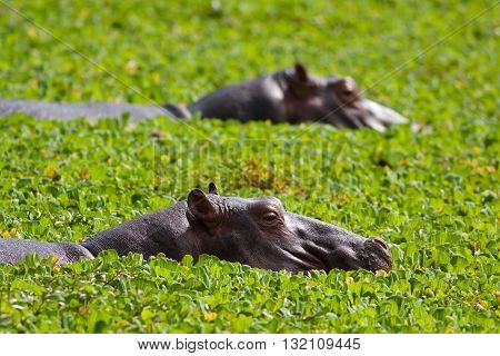 Two Hippos resting in a water hole