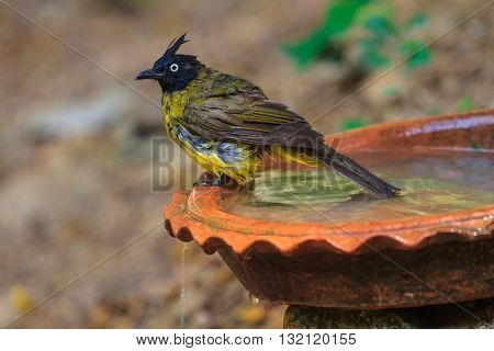Beautiful Bird Black-crested Bulbul  Playing Water In Summer On Hot Days