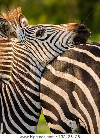 Zebra resting it's head on it's mother