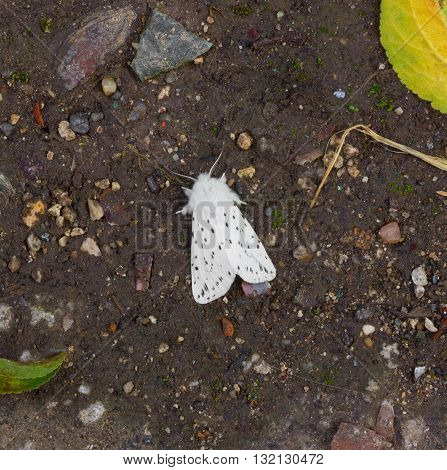 the insect pest American white butterfly (Hyphantria cunea). quarantine pest of fruit crops