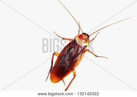 The Brown Cockroach a on white background