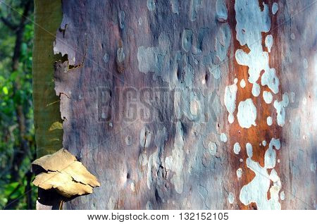 Colorful, spotted Australian smooth barked gumtree bark