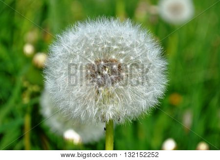 Dandelions field scene Picture of wildflowers white as down dandelion on the wild green field as background nature photography macro mice image