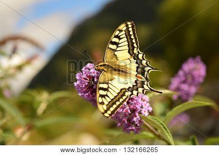 Butterfly feeding on nectar. Swallowtail (Papilio machaon).  Contamines Montjoie, Frankrijk