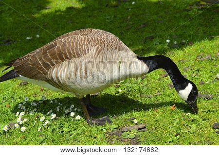 Canada Goose Latin name Branta canadensis feeding on the grass