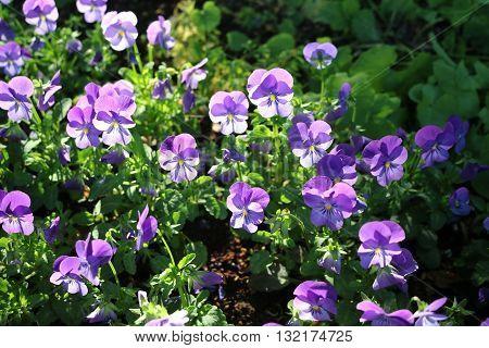 Viola tricolor or Pansy (Viola tricolor) - a beautiful ornamental herb