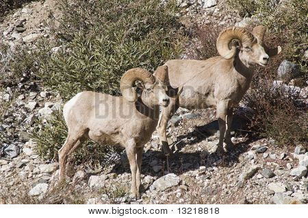 big horn sheep in the mountains of southern california poster