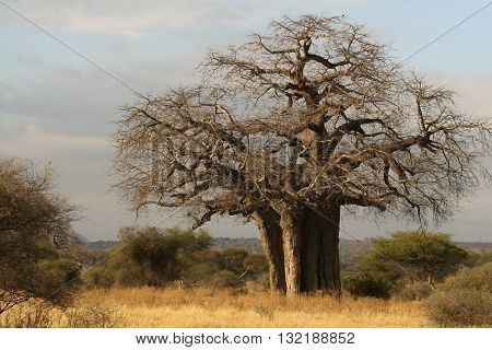 Baobab Tree in the Tanzania Plains of Africa