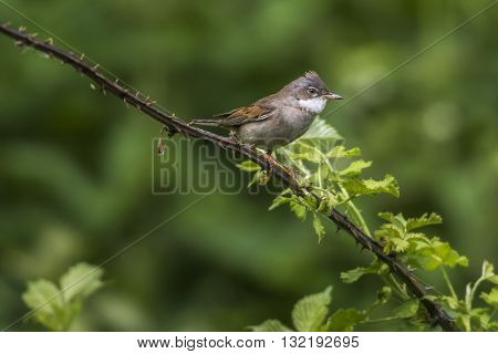 A common whitethroat is sitting on a branch