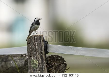 A white wagtail stays on a fencepost