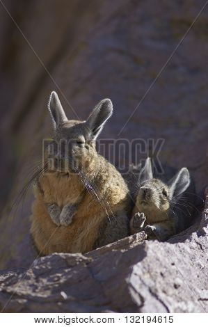 Young Mountain Viscacha (Lagidium viscasia) stretches its legs whilst snuggling up to a sleeping adult on a rock in Lauca National Park, northern Chile.