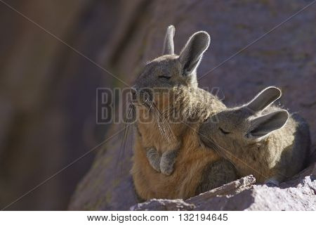 Young Mountain Viscacha (Lagidium viscasia) snuggling up to a sleeping adult on a rock in Lauca National Park, northern Chile.