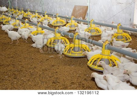 Young white chickens at the poultry farm poster