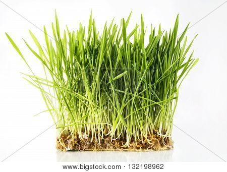 Nice Wheat grass on white isolated background