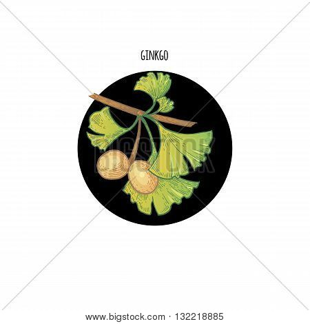 Vector color plant Ginkgo biloba in black circle on white background. Concept of graphic image of medical plants herbs flowers fruits roots. Design for package of health beauty natural products.