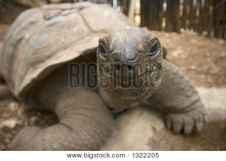 Big Old Tortoise