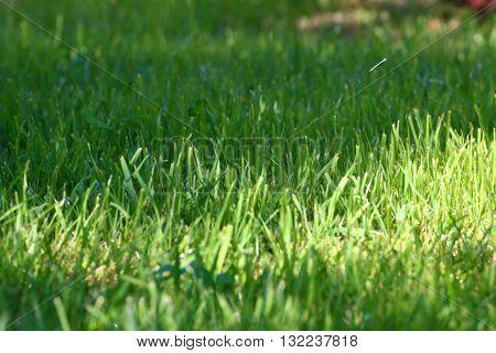 beautiful fresh green grass on a sunny lawn