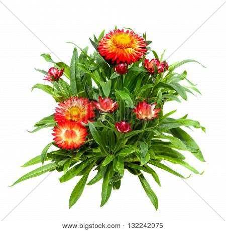 Srawflower Or Helichrysum On White Background.