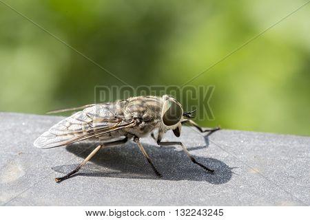 Closeup Of A Horsefly