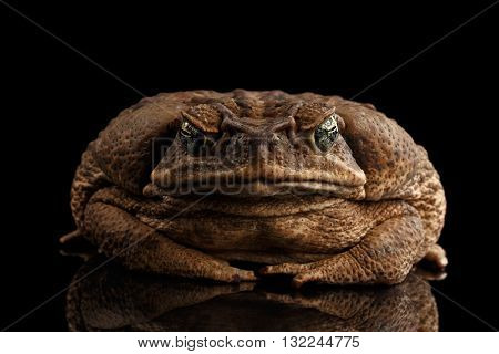 Cane Toad - Bufo marinus giant neotropical or marine toad Isolated on Black Background front view